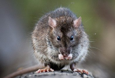 Texas Gulf Coast Rat Control